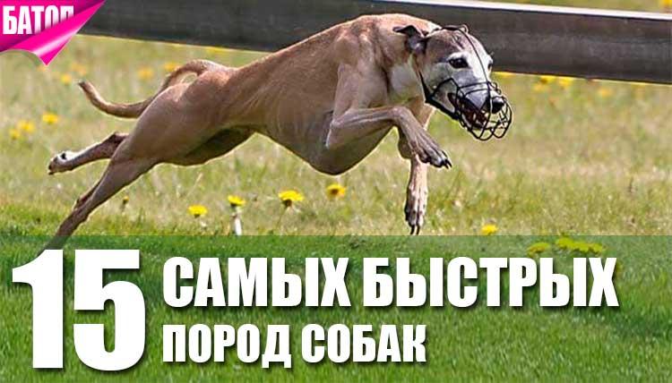 Самые быстрые собаки