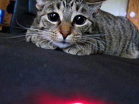 Кошка и лазерная указка