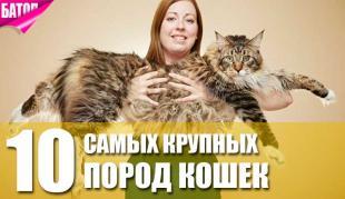 10 самых крупных пород кошек