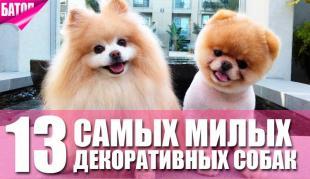 Самые милые декоративные собаки