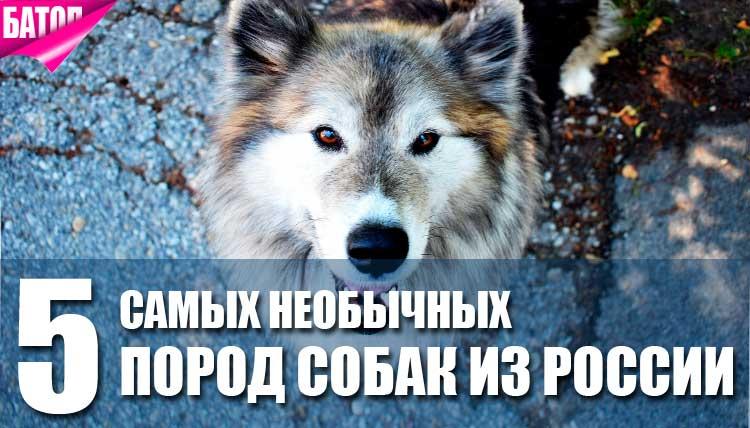 Самые необычные породы собак из России