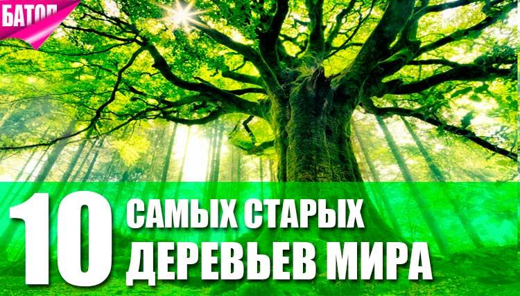 самые старые деревья в мире