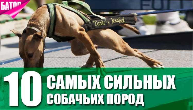 Самые сильные собачьи породы