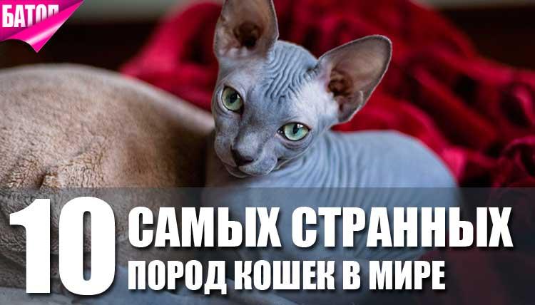 самые странные породы кошек в мире