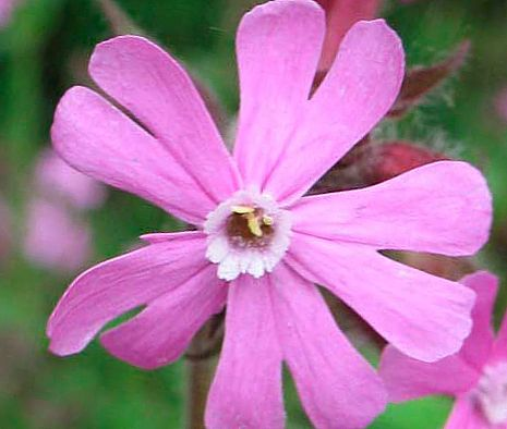 Кэмпион (Силене пушистая) RedCampion