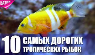 10 самых дорогих тропических рыбок