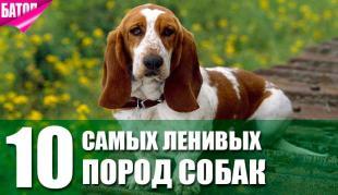 Самые ленивые собаки