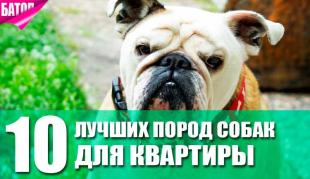 Лучшие породы собак для квартиры