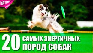 Самые энергичные породы собак