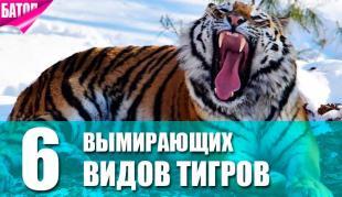 Вымирающие виды тигров